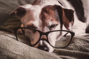 cute dog sleeping with human glasses on